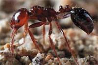 formiche assassine