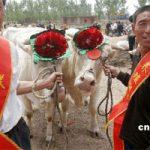 """Concorsi di bellezza bovina in Cina un nuovo """"Must"""""""