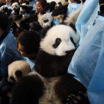Immagini di panda a Taiwan, Taipei