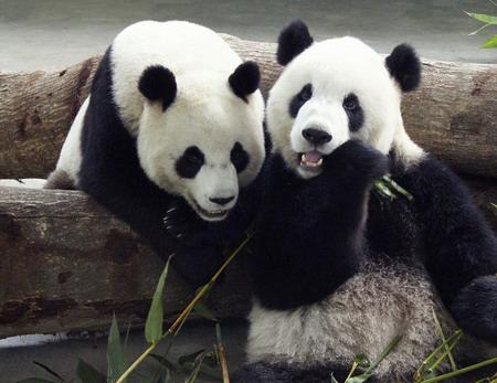 panda reintrodotti-