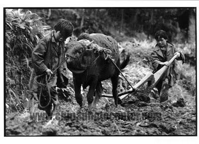 foto più toccanti-bufalo cinese