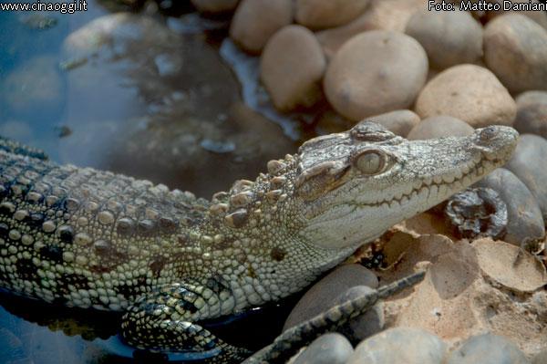alligatore cinese