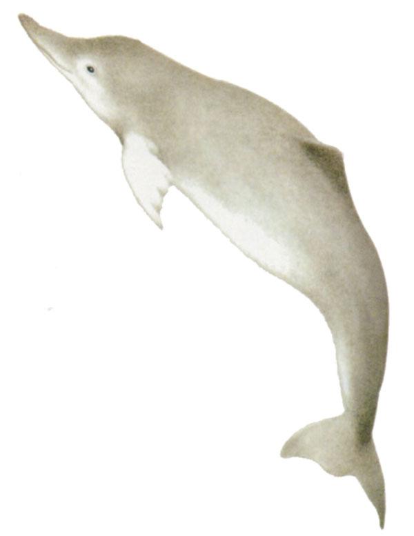 Delfino pinna bianca