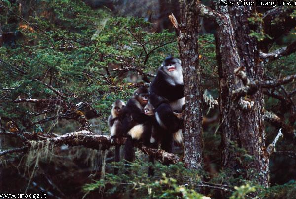 scimmia naso a patata