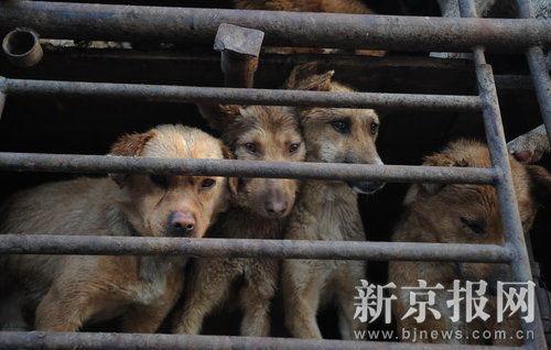 cani-liberazione-004-cani destinati al macello
