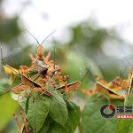 La piaga delle locuste colpisce un villaggio a Changsha