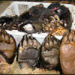 Dieci zampe di orso sequestrate in Cina