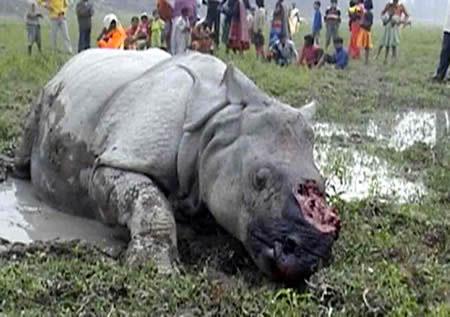 corno di rinoceronte - abusi sugli animali medicina cinese