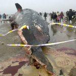 La balena si spiaggia in Cina e viene macellata sul posto