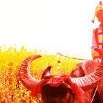 I campi dorati di Luoping