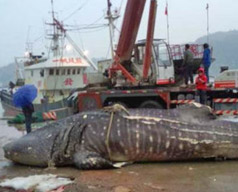 pesca degli squali balena