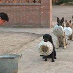I cani della polizia cinese in fila per il cibo