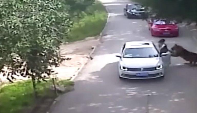 Una tigre ha attaccato due persone in uno zoo safari cinese (video)