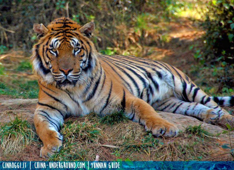 tigre-malnutrizione negli zoo