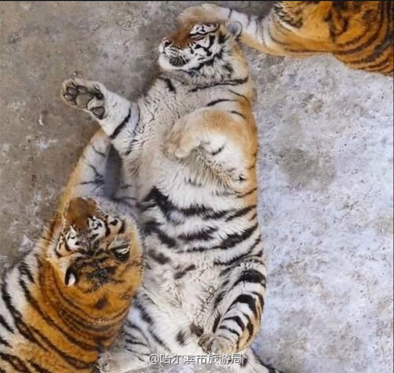 tigri siberiane obese