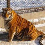 Le maestose tigri siberiane di Harbin Forest Park