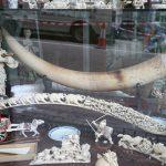 In Cina entra finalmente in vigore il divieto di vendita di avorio di elefante