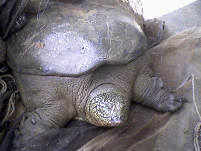 tartaruga-guscio-molle