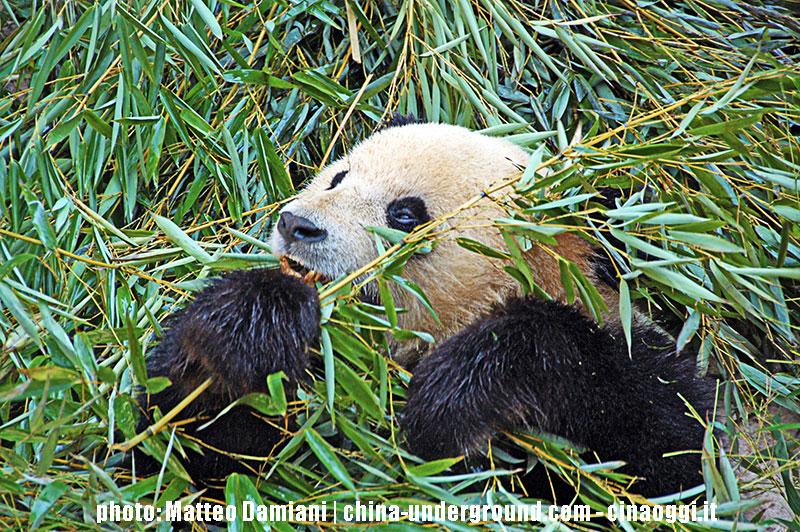 popolazione panda