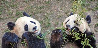 popolazione panda cina