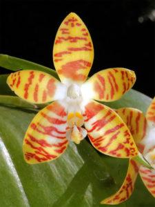 Orchidea-Phalaenopsis