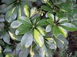 Schefllera arboricola