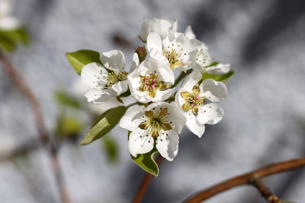 pera fiore